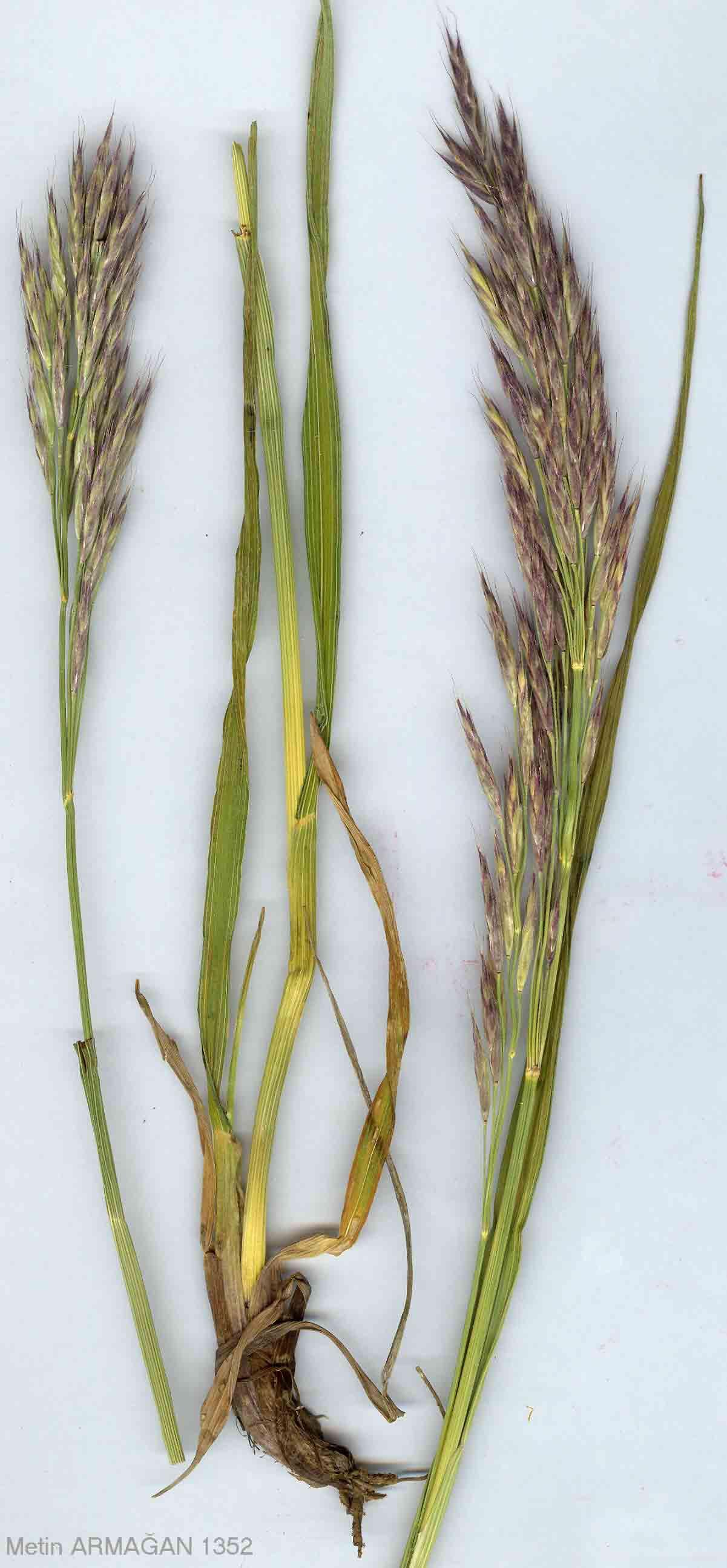 Poaceae Bromus Armenus Boiss Jpg